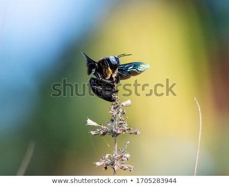 Viola falegname ape macro raccolta nettare Foto d'archivio © manfredxy