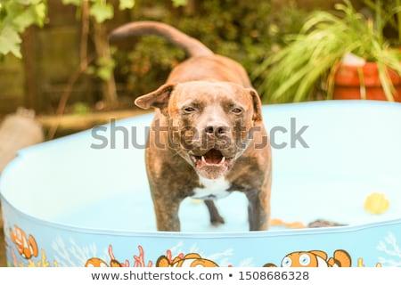 Stúdiófelvétel mérges terrier ül fehér szem Stock fotó © vauvau
