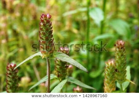 Self Heal Herb Stock photo © marilyna