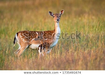 Young Fallow Deer in Hay Stock photo © bobkeenan