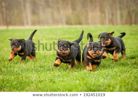 rottweiler puppy stock photo © eriklam