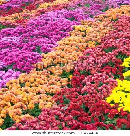 Chryzantema jesienią kwiat złe pasiasty charakter Zdjęcia stock © wildman