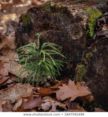 Hercegnő fenyőfa föld moha természet háttér Stock fotó © Balefire9