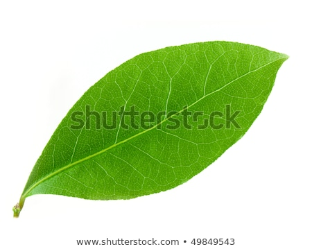 laurel leaf isolated on white background stock photo © ozaiachin