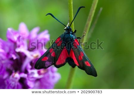 Pięć miejscu trawy czerwony czarny Zdjęcia stock © chris2766