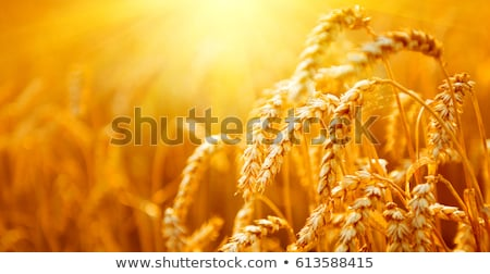 Close up ripened wheat stock photo © pictureguy