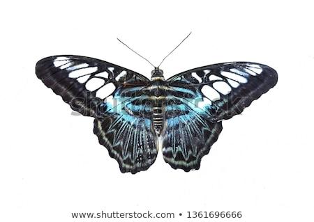 Clipper Butterfly Stock photo © macropixel