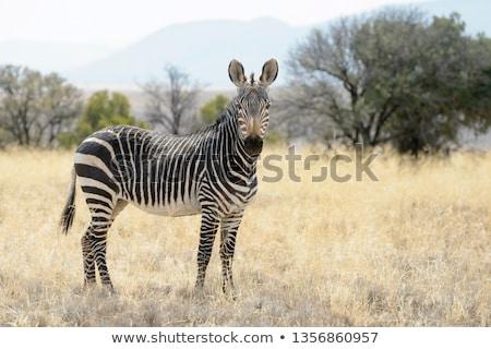 Zebrák szavanna afrikai keret illusztráció művészet Stock fotó © dayzeren