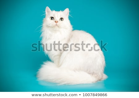 白 · ペルシャ猫 · 目 · 青 · 動物 · 子猫 - ストックフォト © ewastudio