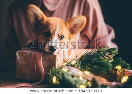 Puppy aanwezig korthaar binnenkant geschenkdoos geïsoleerd Stockfoto © willeecole