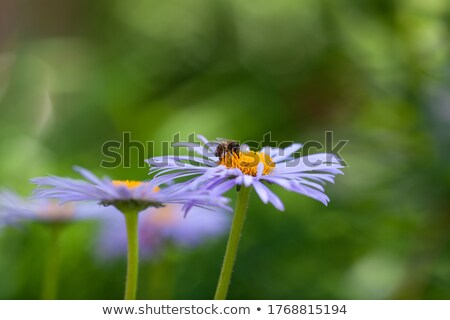 Bee Covered in Pollen on a Daisy Stock photo © rhamm