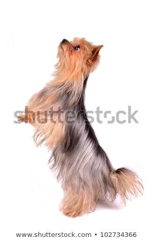Agile little Yorkie or Yorkshire terrier Stock photo © fantasticrabbit