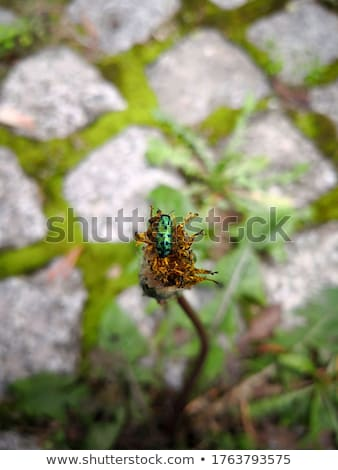 Groene stippel kever bewegende sappig blad Stockfoto © stocker