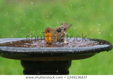 robin on bird bath stock photo © suerob