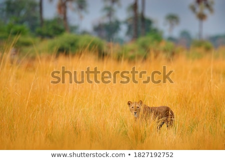 angry young lioness stock photo © oleksandro