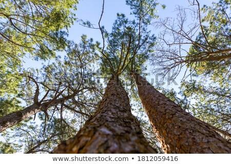 Ağaç büyüyen yüksek dağ orman doğa Stok fotoğraf © Yongkiet