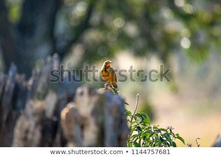 Cape Longclaw (Macronyx capensis) Stock photo © dirkr