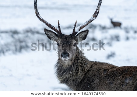 red deer stag in the park stock photo © romitasromala