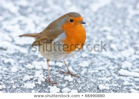 Рождества зима землю льда птица красный Сток-фото © rekemp