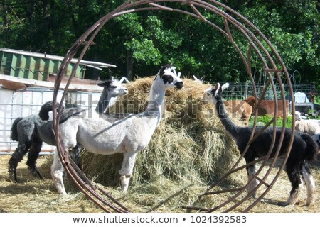 Domestic Llama Eating Hay Farm Livestock Animals Alpaca Stock photo © cboswell