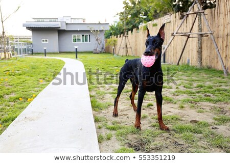 black doberman dog on a summer day playing ball stock photo © goroshnikova