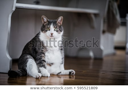 A fat cat Stock photo © bluering