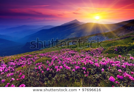 Summer landscape with a beautiful sunrise and mountain flowers stock photo © Kotenko