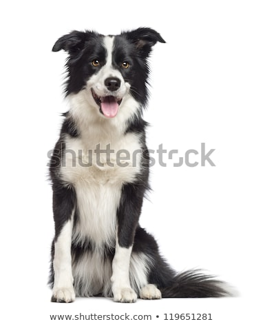 Stock photo: Border Collie sitting in the white background
