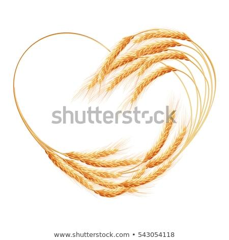 pszenicy · kłosie · odizolowany · biały · eps · 10 - zdjęcia stock © beholdereye