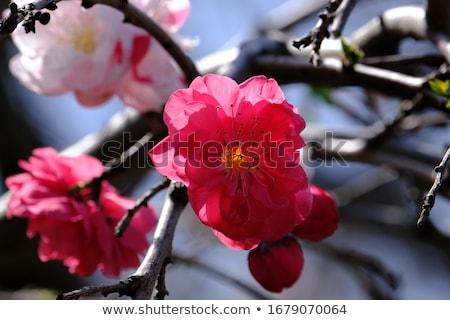 virágzó · barack · közelkép · virágok · kék · ég · fa - stock fotó © oleksandro