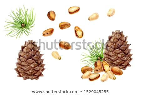Watercolor illustration of pine nut Stock photo © Sonya_illustrations