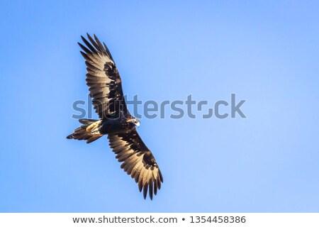 орел Квинсленд Австралия природы птица Сток-фото © dirkr