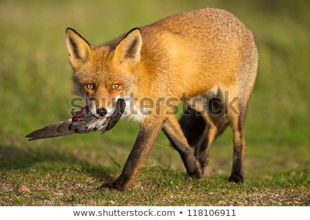 Hunter psa polowanie Fox lasu cartoon Zdjęcia stock © artisticco