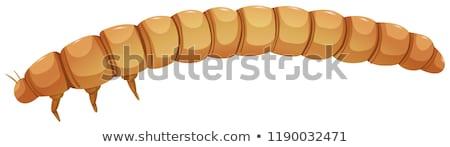Meal worm catapillar white background Stock photo © bluering