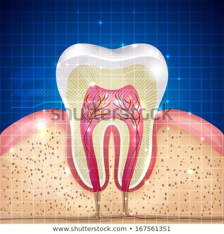 Belo dente seção transversal ilustração abstrato azul Foto stock © Tefi