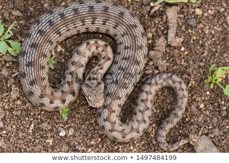 closeup of nose horned viper in natural environment Stock photo © taviphoto