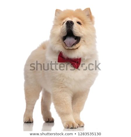 happy gentleman chow chow pants and looks up Stock photo © feedough