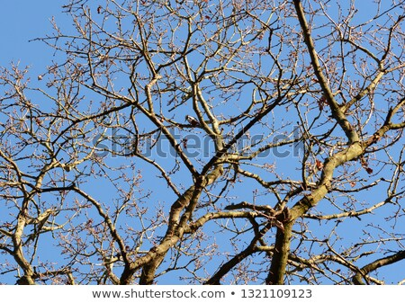 Great spotted woodpecker high among bare oak tree branches Stock photo © sarahdoow