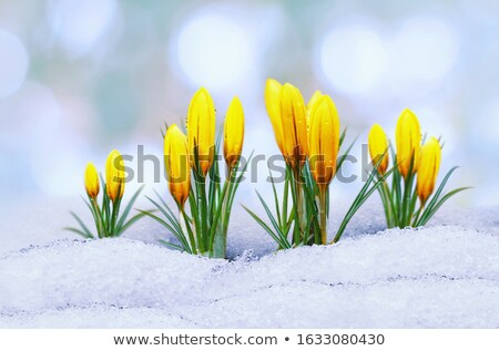 Delicate yellow crocuses blooming in a flower bed Stock photo © sarahdoow
