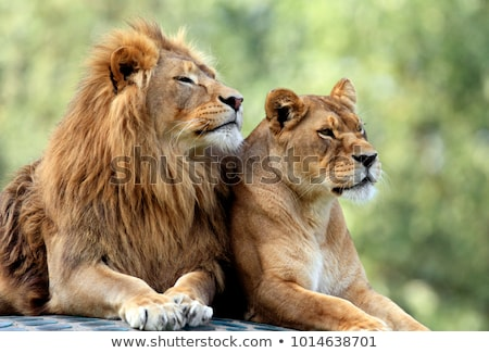 Lion living in the zoo Stock photo © colematt