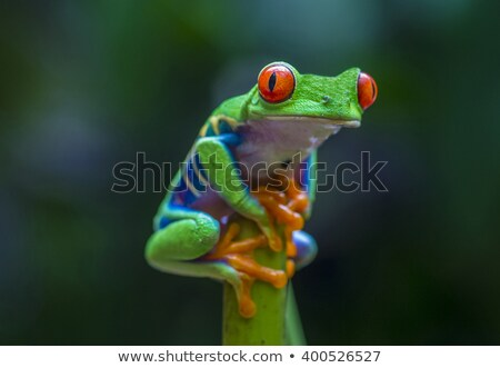 Costa - Rican frog  Stock photo © Anna_Om