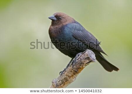 Kahverengi küçük karatavuk parlak kafa ağır Stok fotoğraf © stockfrank