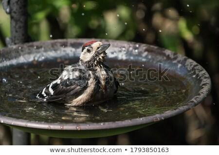 Birdbath Stock photo © franky242