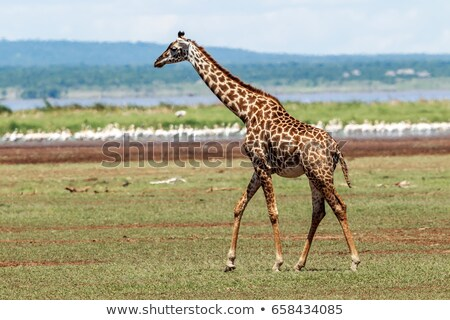 Masai giraffe Stock photo © Witthaya