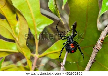 Zwarte weduwe schilderij spin insect illustratie Stockfoto © perysty