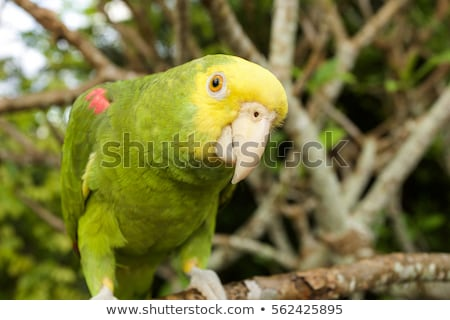 Double Yellow-Headed Amazon Parrot Stock photo © AlienCat