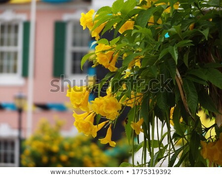 elder flower 12 Stock photo © LianeM