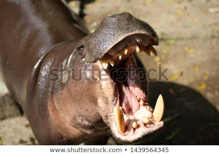Pygmy hippo by the pool Stock photo © KMWPhotography