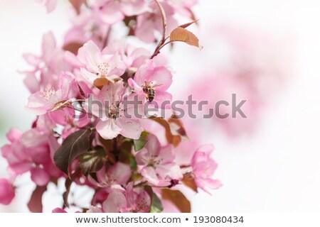 Stock photo: Detail macro photo of japanese cherry blossom flowers