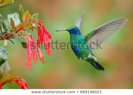 sparkling violetear hummingbird hovering stock photo © rhamm